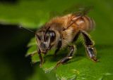 Honeybee Worker on a Leaf