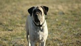 English Mastiff guarda attento