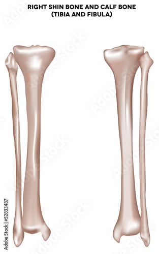 shin bone and calf bone (tibia and fibula)