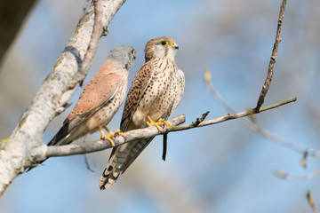 Turmfalke, Common Kestrel, Falco tinnunculus