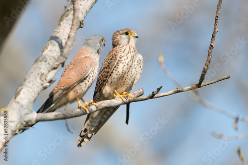 canvas print picture Turmfalke, Common Kestrel, Falco tinnunculus