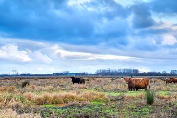 Scottish Highlands cattle on pasture