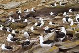 Black-browed Albatross poster