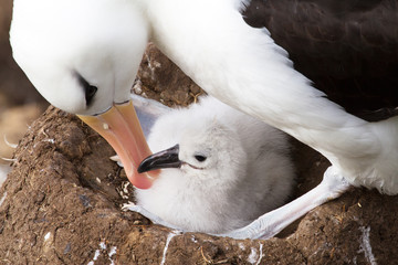 Black-browed Albatross and her chick