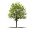 arbre sur fond blanc