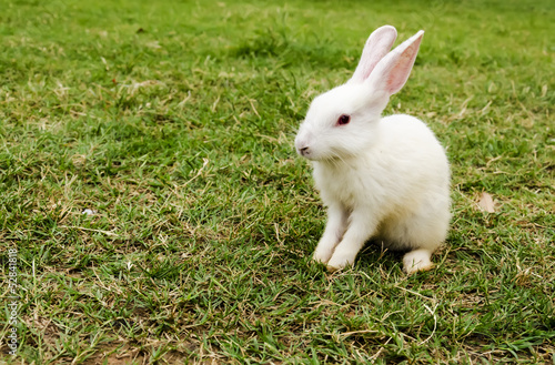 Baby white Rabbit