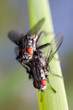 Mating of common house-flies (Musca domestica)