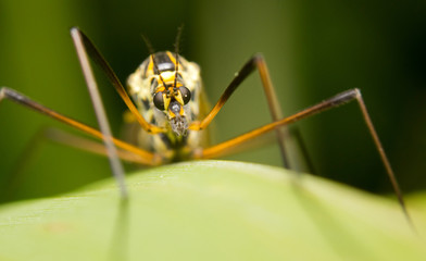 Close-up of a cranefly (or daddy-longlegs)