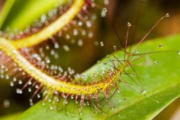 Close-up of a Cape sundew (Drosera capensis)