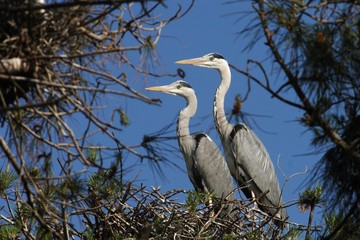 Grey Heron, Ardea cinerea in love