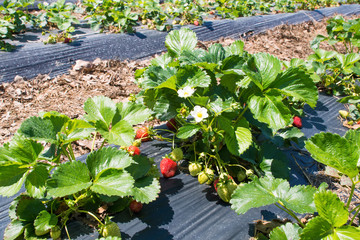 Bushes strawberries with green and red berries