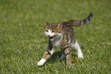 cat runs on a lawn