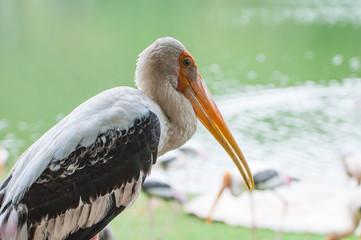 Kabbaw bird Portrait