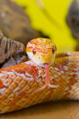 Beautiful red albino corn snake reptile on yellow green blurred