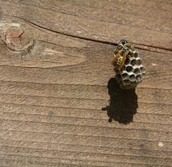Nido di vespe su trave