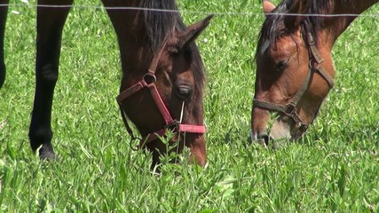 two horses grazing grass