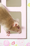 Cute mouse rat rodent looking out of the window poster