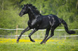Black horse runs gallop in summer