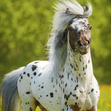Appaloosa stallion playing on the meadow