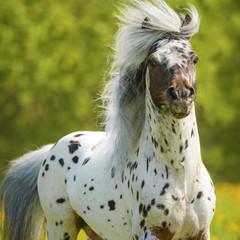 Appaloosa stallion playing on the meadow