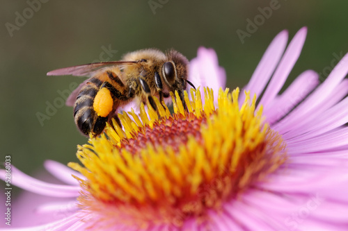 Foto op Canvas Bee Bee on the flower.