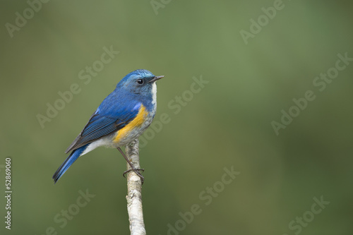 Himalayan Bluetail on small branch, thailand