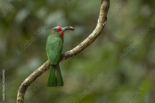 Red-beared Bee-eater with food for chick, thailand