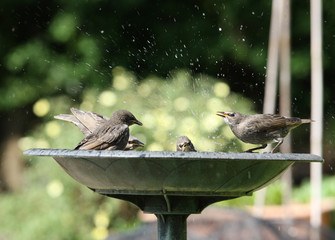A group of young Starlings enjoying a bath
