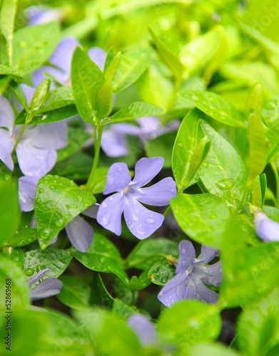 Periwinkle flowers in the garden (Vinca minor)