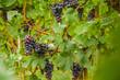 Blaue Weintrauben, Weinlese, Rotwein, Rebstock