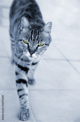 Silver striped cat approaching