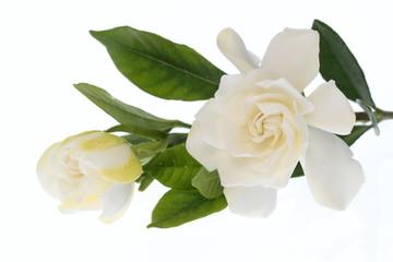 梔子の花と蕾
