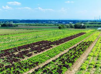 Bunte Salatfelder im Frühling