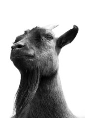 Black and white goat face