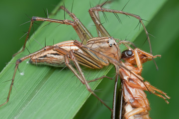 A Lynx spider with winged termite prey