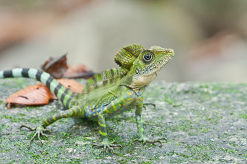 A male angle head lizard with many mosquitoes on him