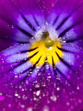 purple flower with drops of water