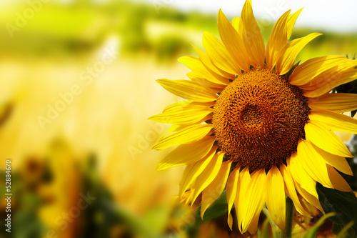 Leinwandbild Motiv Tuscany sunflowers