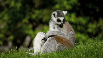 Lemur with young is cleaning herself.