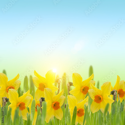 Fresh daffodils  in grass