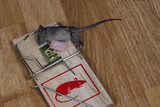Dead field mouse in a mousetrap