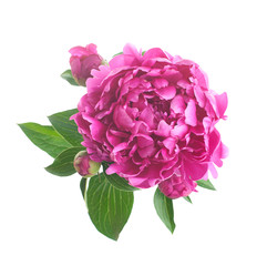 Pink peony. isolated on white