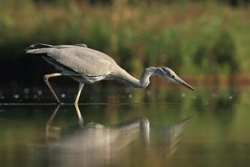 Grey Heron, Ardea cinerea,