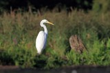 Great Egret, Ardea alba, Common Egret, Great White Heron,