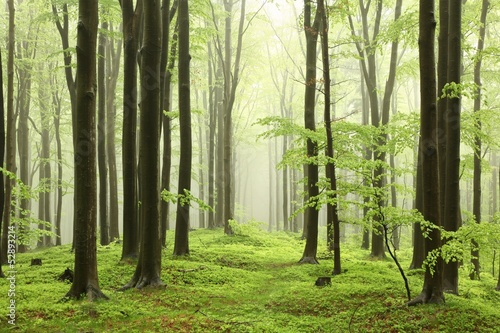 Fotobehang Meest verkochte foto's Spring beech forest in the mountains of the southern Polish