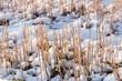 Stubbles in a snowy farmland.