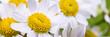 blütenköpfe kleiner margariten