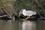 Black-crowned Night Heron, Nycticorax nycticorax, Night Heron
