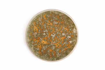 Penicillum fungi on agar plate over white