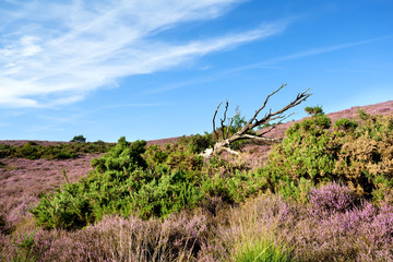 dry tree in bush with flowering heather